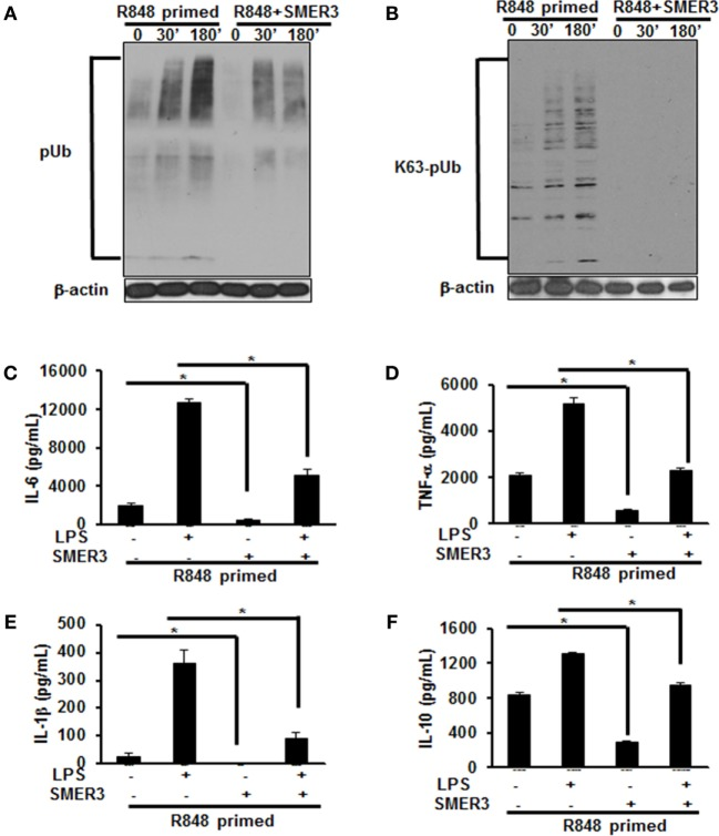 Pretreatment of R848-primed bone marrow-derived macrophages (BMDMs) with small-molecule enhancer of rapamycin (SMER) 3 reduces the expression of polyubiquitinated and K63-linked polyubiquitinated proteins and inhibits the production of inflammatory cytokines. BMDMs were preexposed to either R848 (100 ng/mL) or R848 and SMER3 (5 µM) for 24 h, cells were washed and subsequently challenged with LPS (500 ng/mL) for different time periods. Whole cell extracts were prepared and subjected to SDS-PAGE and Western blot analysis to assess the expression of polyubiquitin (A) and K63-linked polyubiquitin proteins (B) . Representative results of Western blot are shown out of a total of four independent experiments. Culture supernatants were collected after 24 h to measure IL-6 (C) , TNF-α (D) , IL-1β (E) , and IL-10 (F) production via enzyme-linked immunosorbent assay (ELISA). ELISA results shown are mean of four independent experiments. A p value