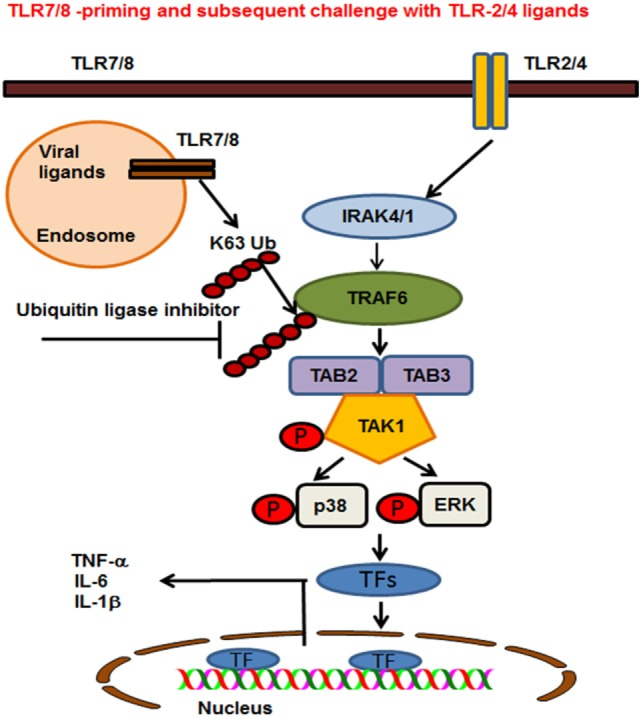 Proposed model of toll-like receptor (TLR) 7/8 priming of bone marrow-derived macrophages, increased activation of MAPKs, and production of inflammatory cytokines on subsequent exposure to TLR2/4 ligands. TLR7/8 is localized in the endosome where it recognizes ssRNA viruses or synthetic ligand R848. TLR2 and 4 are localized on the plasma membrane where they recognize the bacterial ligands PAM or LPS respectively. TLR7/8 priming leads to increased K63-linked polyubiquitination of proteins involved in TLR signaling and specifically TRAF6. Cells preexposed to viral ligands (TLR7/8) respond to subsequent stimulation with TLR2/4 ligands with K63-linked polyubiquitination of TRAF6, which leads to an enhanced activation of MAPKs and production of pro-inflammatory cytokines. Enhanced activation and cytokine storm are inhibited in the presence of an ubiquitin ligase inhibitor [small-molecule enhancer of rapamycin (SMER) 3]. SMER3 inhibits the K63 polyubiquitination of proteins, specifically the TRAF6 activity resulting in a decreased production of pro-inflammatory cytokines.