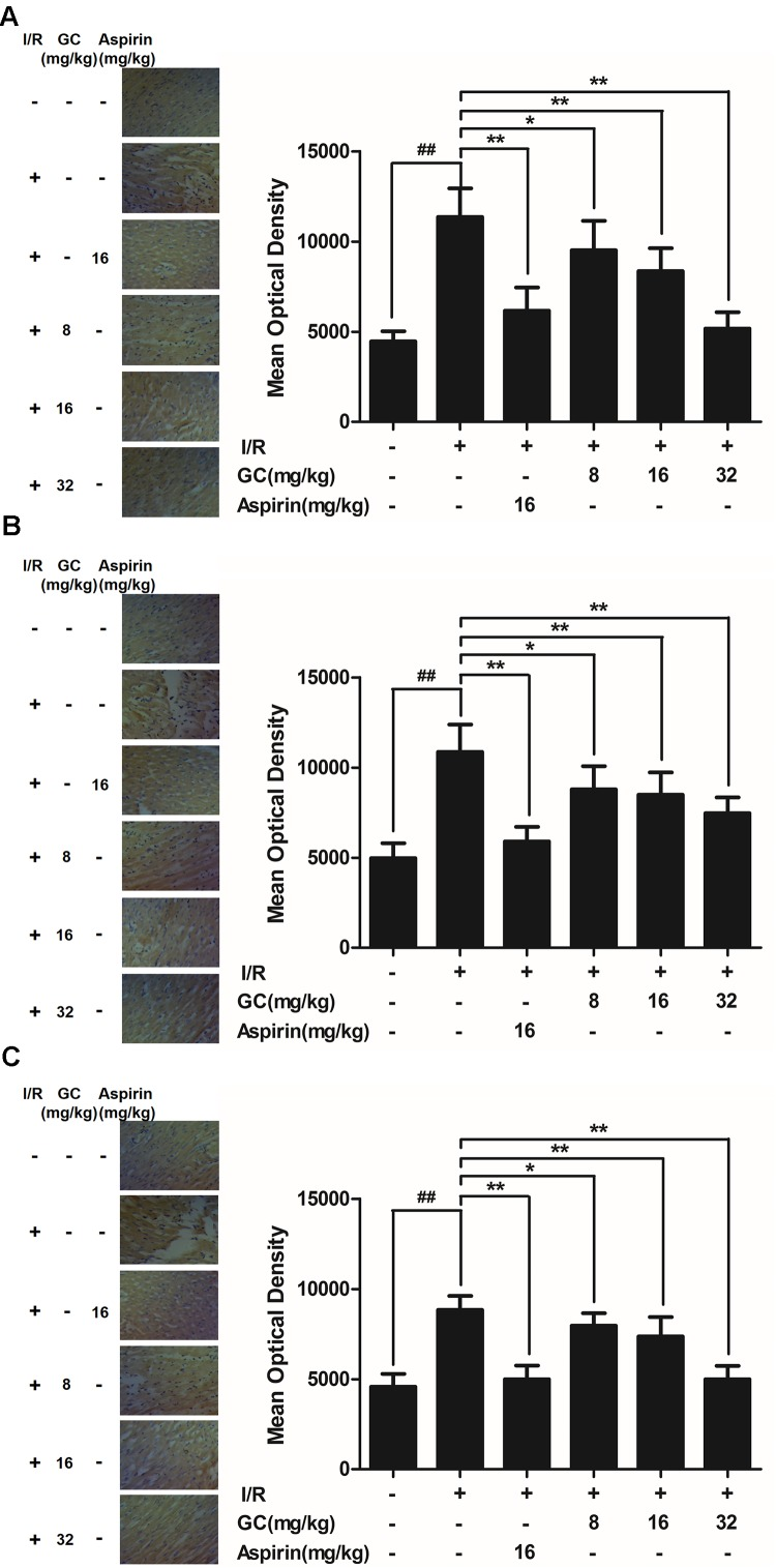 Effect of GC on ICAM-1, VCAM-1 and iNOS expressions in myocardial tissue after I/R procedure. The tissue was observed using a microscope at a magnification × 400. (A) GC decreased the expression of ICAM-1. (B) GC decreased the expression of VCAM-1. (C) GC decreased the expression of iNOS. There was a little expression of ICAM-1, VCAM-1 and iNOS in myocardial tissue of the control group. The expressions of ICAM-1, VCAM-1 and iNOS in I/R group were markedly increased. Administration of GC exhibited reduced expressions of ICAM-1, VCAM-1 and iNOS compared with the I/R group in a dose-dependent manner. Administration of Aspirin also significantly decreased the expressions of ICAM-1, VCAM-1 and iNOS compared with I/R group. The location of the histological images was taken in the infarcted area. Data were expressed as mean ± SD ( n = 8). ## P