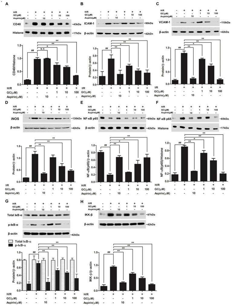Effects of GC on the expressions of CD40, ICAM-1, VCAM-1, iNOS, NF-κB p65, p-IκB-α and IKK-β by Western blot after H/R procedure. (A) GC decreased the expression of CD40. (B) GC decreased the expression of ICAM-1. (C) GC decreased the expression of VCAM-1. (D) GC decreased the expression of iNOS. GC blocked the translocation of NF-κB p65 from cytosolic (E) to nuclear (F) . (G) GC down-regulated the expression of p-IκB-α. (H) GC decreased the expression of IKK-β. CD40, ICAM-1, VCAM-1, iNOS, p-IκB-α and IKK-β proteins were measured in cytosolic extract. The NF-κB p65 protein levels were assayed separately in cytosolic and nuclear extracts. Results were expressed as Protein/reference protein ratio. Data were expressed as mean ± SD of three independent experiments. ## P