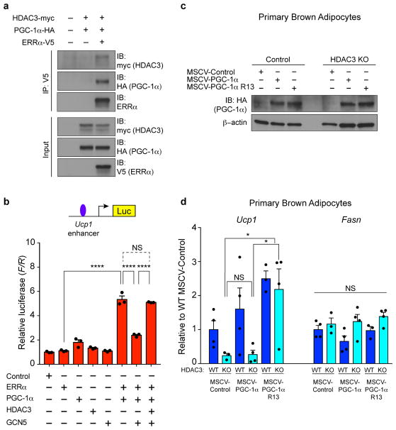 Role of HDAC3 on PGC-1α acetylation and function (a) Co-immunoprecipitation of HDAC3 and PGC-1α with ERRα from 293FT cells. (b) Luciferase reporter assay of transcription driven by the major Ucp1 enhancer (−6 kb) following transfection of ERRα, PGC-1α , GCN5, and/or HDAC3 (n= 3 replicates per condition). (c–d) Primary brown pre-adipocytes from Rosa26 -CreER-positive HDAC3 F/F and HDAC3 F/F control littermates transduced with MSCV retroviruses: Control, PGC-1α WT, or non-acetylatable PGC-1α R13 mutant, and treated with 2μm 4-OHT during days 0–2 of differentiation to deplete HDAC3, and studied at Day 8 of differentiation. (c) Immunoblot analysis of exogenous PGC-1α expression in primary brown adipocytes (n= 2 replicates pooled per lane). (d) RT-qPCR analysis of Ucp1 and Fasn expression in control and HDAC3 KO primary brown adipocytes following transduction with MSCV-Control (n= 4 control, 3 HDAC3 KO), MSCV-PGC-1α WT (n= 4 control, 4 HDAC3 KO), or MSCV-PGC-1α R13 (non-acetylatable mutant) (n= 3 Control, 4 HDAC3 KO). *P