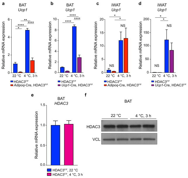 BAT HDAC3 is required for cold-mediated induction of Ucp1 expression and HDAC3 expression is not altered by acute cold a–b BAT Ucp1 mRNA levels following a 3 h exposure to 4°C (from 22°C) versus control littermates maintained at 22°C in (a) Adipoq -Cre HDAC3 KO versus control (n= 5, 5, per temperature) and (b) Ucp1 -Cre HDAC3 KO versus control (n= 5, 5, per temperature). c–d iWAT Ucp1 mRNA levels following 3 h exposure to 4°C, versus control littermates maintained at 22°C in (c) Adipoq -Cre HDAC3 KO versus control (n= 5, 5, per temperature) and (d) Ucp1 -Cre HDAC3 KO versus control (n= 5, 5, per temperature). (e) BAT HDAC3 mRNA expression levels following a 3 h exposure to 4°C (from 22°C) versus control littermates maintained at 22°C (n= 5, 5, per temperature). (f) BAT HDAC3 protein levels following 3 h acute cold exposure at 4°C (from 22°C) versus control littermates maintained at 22°C. VCL, vinculin. NS, not significant, * P