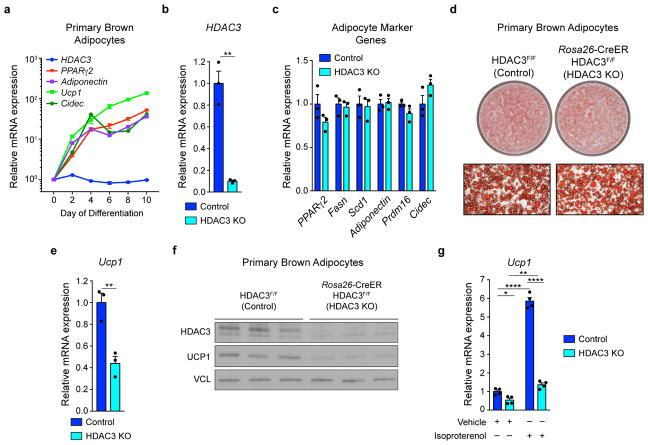 HDAC3 is neither induced nor required for brown adipogenesis, but required for cell-autonomous Ucp1 expression (a) Gene expression spanning differentiation of cultured wild type primary brown adipocytes (n= 5 replicates per time point). (b) Depletion of HDAC3 in Day 8 cultured mature brown adipocytes following addition of 2μm 4-hydroxytamixofen (4-OHT) during Days 0–2 of differentiation to Rosa26 -CreER-positive (HDAC3 KO) and Rosa26 -CreER-negative (Control) cells derived from littermates (n= 3, 3). (c) Adipocyte-specific gene expression in cultured primary brown adipocytes following depletion of HDAC3 versus control (n= 3, 3). (d) Assessment of lipid accumulation (evaluated by Oil Red-O staining) in cultured HDAC3 KO versus control primary brown adipocytes. (e) Ucp1 mRNA expression in cultured primary brown adipocytes following depletion of HDAC3 versus control (n= 3, 3). (f) UCP1 protein expression in cultured primary brown adipocytes following depletion of HDAC3 versus control. (n= 3, 3). (g) Ucp1 mRNA expression in cultured primary brown adipocytes following depletion of HDAC3 versus control and treated with vehicle (ethanol) or isoproterenol (1μm) for 3 h (n= 4 per group). VCL, vinculin. * P
