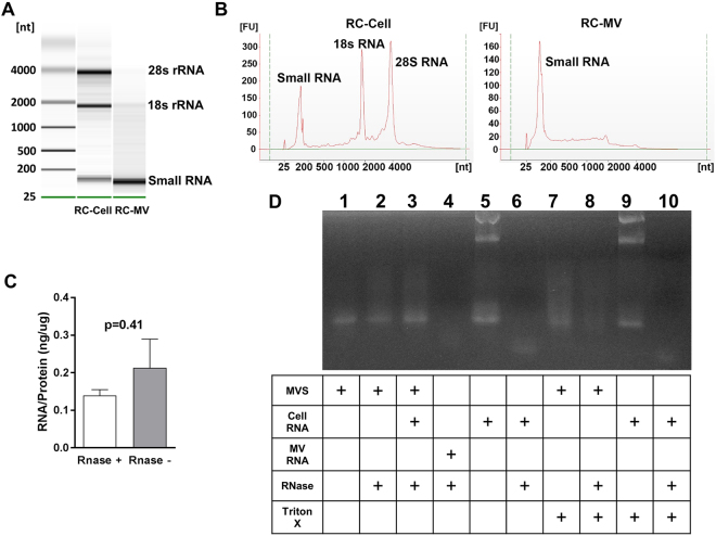 RNA exists in RC-MVs. ( A ) MV RNA was compared to cell RNA. In a 2% agarose gel, RC-MV RNA was heterogeneous in size but contained little or no large ribosomal RNA species (18S- and 28S-rRNA) compared to parent cells. Enriched small RNAs were observed in MVs. ( B ) A similar pattern was observed in the Bioanalyzer. ( C ) RC-MVs were treated by RNase A before RNA extraction by TRIzol. No significant differences in the RNA:protein ratios of MVs with or without RNase pretreatment (n = 6) were observed. ( D ) RNase was not able to digest the RNA component in MVs. However, it was able to digest the total cell RNA. When the MVs were pre-treated with the membrane detergent Triton X-100, RNA degradation was observed, suggesting that RNA in RC-MVs is protected by the intact lipid membrane.