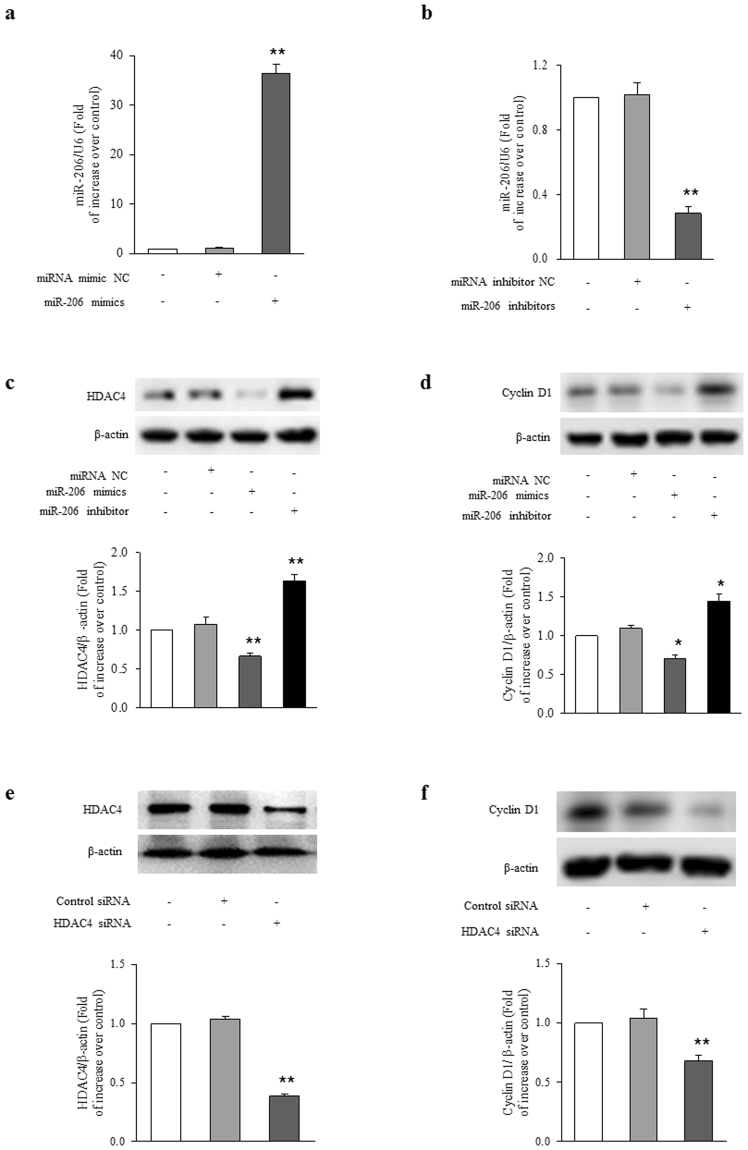 miR-206 regulates HDAC4/cyclin D1 expression in ASMCs. ( a ) ASMCs were transfected with miR-206 mimics or miR-NC for 48 h, the expression of miR-206 was examined by qRT-PCR. U6 small nuclear RNA served as a loading control (n = 4 per group). ( b ) ASMCs were transfected with miR-206 inhibitors or miR-NC for 48 h, the level of miR-206 was examined by qRT-PCR. U6 small nuclear RNA served as a loading control (n = 4 per group). ASMCs were transfected with miR-206 mimics, miR-206 inhibitors or miR-NC for 48 h. ( c ) HDAC4 protein level were analyzed using immunoblotting (n = 4 per group). ( d ) Cyclin D1 protein level was determined using immunoblotting (n = 4 per group). ( e ) ASMCs were transfected with sequence-specific HDAC4 siRNA or non-targeting siRNA for 48 h, HDAC4 protein level was examined using immunoblotting (n = 4 per group). ( f ) ASMCs were transfected with sequence-specific HDAC4 siRNA or non-targeting siRNA for 48 h, cyclin D1 protein level was determined by immunoblotting (n = 4 per group). The full-length blots of Fig. 3c–f are presented in Supplementary Fig. S2. *P