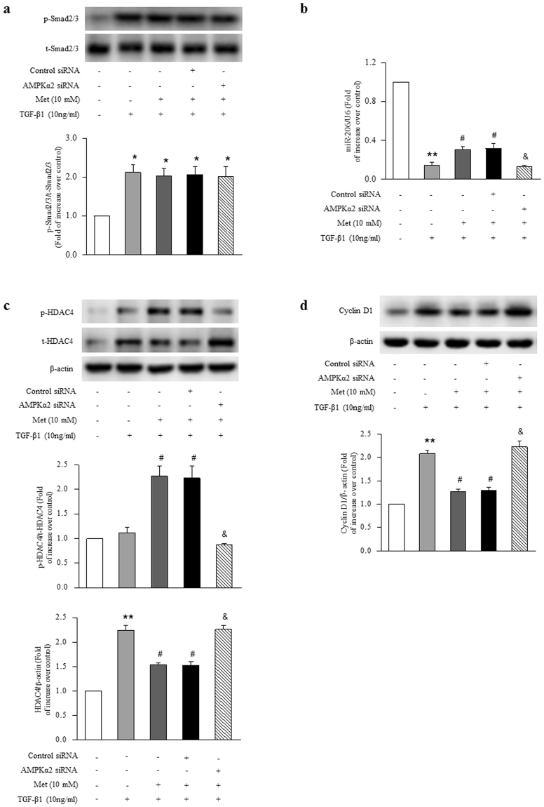 The mechanisms underlying activation of AMPK inhibition of TGF-β1-induced ASMCs proliferation. ( a ) ASMCs were transfected with AMPK α2-specific or non-targeting siRNA for 48 h, and then treated with metformin (10 mM) for 6 h before stimulation with TGF-β1 (10 ng/ml) for 1 h. The phosphorylation of Smad2/3 was determined by immunoblotting (n = 4 per group). ASMCs were transfected with AMPK α2-specific or non-targeting siRNA for 24 h, and then treated with metformin (10 mM) for 6 h before stimulation with TGF-β1 (10 ng/ml) for 24 h. ( b ) The expression of miR-206 was examined by qRT-PCR (n = 4 per group). ( c ) The expression and phosphorylation of HDAC4 were analyzed using immunoblotting (n = 4 per group). ( d ) Cyclin D1 protein level was determined using immunoblotting (n = 4 per group). The full-length blots of Fig. 6a, 6c and 6d are presented in Supplementary Fig. S4. *P