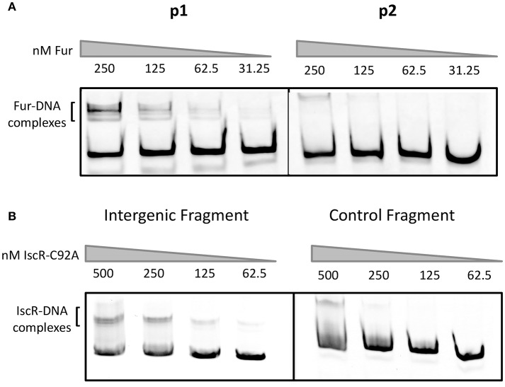E. coli Fur binds to the promoter upstream of hmuR and E. coli IscR-C92A binds to the intergenic region between hmuR and hmuSTUV . (A) Electrophoretic mobility shift assays (EMSAs) using DNA from the promoter regions shown in Figure 1 . Concentrations of Fur protein used in the gel shift assays are denoted above the gel lanes. (B) EMSAs using DNA from the intergenic region between hmuR and hmuSTUV or control DNA within the hmuR coding region. Concentrations of Apo-locked IscR-C92A protein used in the gel shift assays are denoted above the gel lanes.