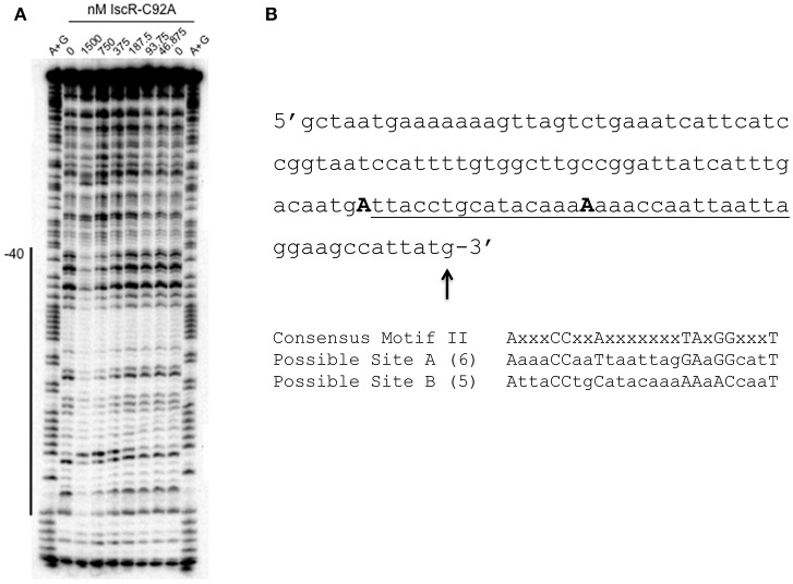 E. coli IscR-C92A DNase I footprinting reveals IscR Motif II binding sites in the intergenic region between hmuR and hmuS . (A) DNase I footprinting of IscR-C92A binding to the intergenic region between hmuR and hmuS . The labeled DNA is the top strand from −123 to−1 relative to the hmuS translational start site. The region protected by IscR-C92A is marked by a black line and −40 denotes the position from the hmuS translational start site. (B) Sequence of the intergenic region between hmuR and hmuS . The region of protection by IscR-C92A is underlined. Possible Motif II Sites are marked below the sequence and the number of nucleotides contained in each sequence shown to be important for IscR binding are denoted. The first residue of each possible motif are capitalized and bolded.