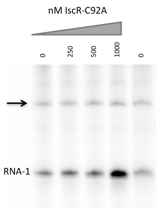 E. coli IscR-C92A cannot activate transcription from the intergenic promoter between hmuR and hmuS . In vitro transcription reactions contain plasmids harboring the intergenic promoter between hmuR and hmuS , Eσ 70 RNA polymerase, and increasing concentrations of IscR-C92A protein. Transcripts from the intergenic promoter are marked with an arrow and transcripts from the control RNA-1 promoter are indicated.
