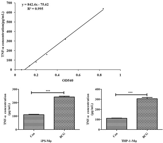 Effects of BCG on TNF-α expression in iPS-Mφ and THP-1-Mφ. The upper panel shows the standard curve of TNF-α. The expression of TNF-α protein in iPS-Mφ and THP-1-Mφ was significantly increased after BCG treatment ( P