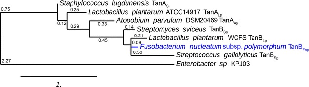 Phylogenetic tree of bacterial tannases. Tree showing evolutionary relationships between all bacterial tannases genetically identified to date. The numbers indicate branches lengths. F. nucleatum subsp. polymorphum TanB Fnp is indicated in blue