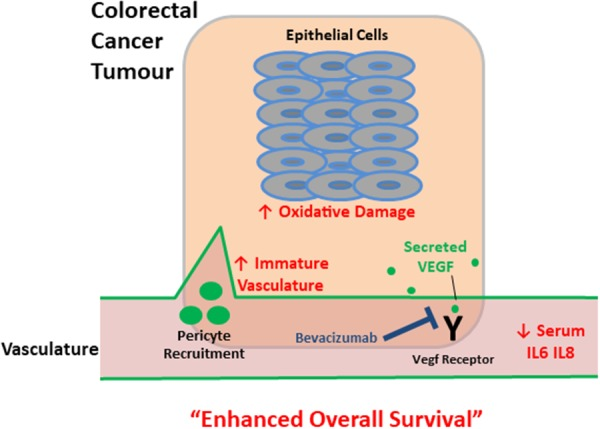 Schematic depicting tumour and serum biomarkers that stratify survival in metastatic colorectal cancer patients following treatment with bevacizumab Up and down arrows indicate that altered levels (higher and lower respectively) of these biomarkers (red text) correlate with enhanced overall survival – a higher proportion of immature tumour vasculature, increased oxidative damage and lower levels of circulating inflammatory cytokines. For patients that have a lower survival, it is possible that these interconnected cancer-associated biological processes may have progressed beyond a point whereby subsequent treatment following surgery with anti-VEGF therapy is sufficient to enhance patient survival levels.