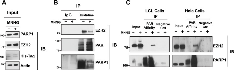 EZH2 interacts with PARP1 and is PARylated after DNA damage induction (A) Immunoprecipitation of EZH2 with PARP1 under physiological conditions and after induction of DNA damage. His-PARP1 was expressed in HeLa cells by transfection. Cells were treated with 100 uM of the alkylating agent N-methyl-N'-nitro-N-nitrosoguanidine (MNNG) for 10 minutes to induce DNA damage and activate PARP1. Input corresponds to 1/20 th of protein extracts from transfected cells used for the tag-construct pulldown. (B) Proteins interacting with EZH2 were analyzed by His pulldown or immunoprecipitated with non-immunogenic IgG (control) followed by western blot analysis with anti-EZH2 (top), anti-PAR (middle) and anti-PARP1 (bottom) antibodies. (C) Immunoprecipitation of EZH2 with PAR-affinity resin after induction of DNA damage. LCLs and HeLa cells were treated with or without 100 uM MNNG for 10 minutes. Cellular protein extracts were immunoprecipitated with a PAR affinity resin or PAR negative control resin and analyzed by western blot with anti-EZH2 and anti-PARP1 antibodies. Input corresponds to 1/10 th the amount of cell extracts used for immunoprecipitation.