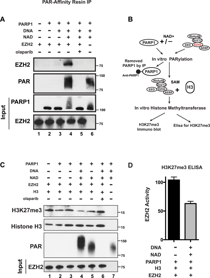 PARP1 PARylates EZH2 and inhibits EZH2 activity in vitro (A) PARylation of EZH2 by PARP1 in vitro . Human EZH2/PRC2 complex (EZH2, EED, SUZ12, RbAP48 and AEBP2) was incubated alone (lane 1) or with the agents indicated at the top (250 nM of olaparib (PARP inhibitor) was used and NAD+ is necessary for PARP1 activity). After 1 hour, PARylation was blocked by adding olaparib to all samples and PARylated proteins were pulled-down by PAR-affinity resin and analyzed by western blot with anti-EZH2 and anti-PAR antibodies. PARylation appears as a smear due to the different sizes of the various PAR polymers. Input corresponds to 1/10 th the amount of protein used for immunoprecipitation. Input was immunoblotted with anti-PARP1 and anti-EZH2 antibodies. (B) Schematic of the experimental strategy for C) and D). Briefly, the EZH2/PRC2 complex was incubated with PARP1 in the presence or absence of NAD+ as in A). After 1 hour, PARylation was stopped with olaparib and PARP1 was removed by immunoprecipitation with an anti-PARP1 antibody. The EZH2/PRC2 complex was incubated with EZH2 substrates histone H3 and S-adenosyl methionine (SAM) to allow histone methylation to occur. After 30 minutes, histone methytransferase activity was determined by assessing H3K27me3 levels. (C) In vitro histone methyltransferase assay. As indicated in B), purified histone H3 and SAM were incubated with the agents indicated at the top. After 30 minutes, proteins were analyzed by western blot using anti-Histone H3, anti-H3K27me3 and anti-PAR antibodies. Input corresponds to 1/20 th the amount of the protein used for immunoblotting. Input was probed with an anti-EZH2 antibody. (D) Levels of EZH2 activity with (black) and without (grey) PARP1 activity. Extracts from the EZH2/PRC2 complex incubated with histone H3 and SAM as in lanes 2 and 4 from C) were assessed for H3K27me3 levels by ELISA. N=3 ± SD.