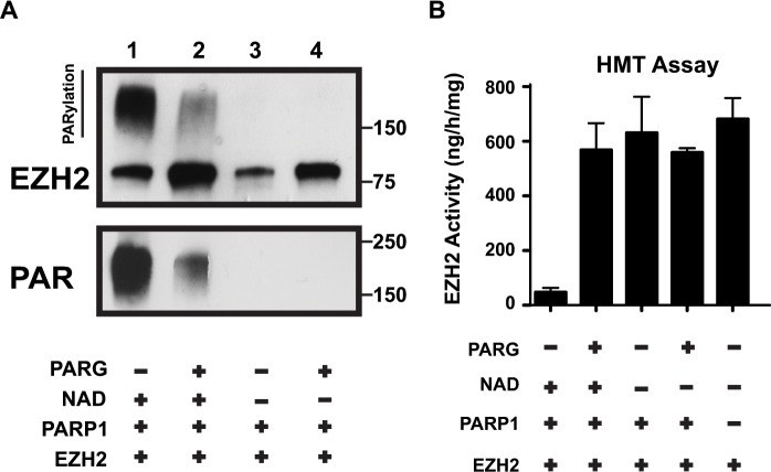 PARG reverses EZH2 PARylation and restores EZH2 enzymatic activity (A) In vitro PARG assay. EZH2/PRC2 complex and PARP1 were incubated with or without PARG as indicated (Note: NAD+ is required for PARylation). After 1 hour, the reaction was blocked by addition of the PARP inhibitor olaparib and the EZH2/PRC2 complex was incubated with (lanes 2 and 4) or without (lanes 1 and 3) PARG to allow degradation of PAR polymers. After 1 hour, the reaction was stopped by adding Laemmli buffer and the proteins were analyzed by western blot using anti-EZH2 and anti-PAR antibodies. The upper band in the top panel represents PARylated EZH2. PARG activity was confirmed by reduction of PAR smear. (B) In vitro histone methyltransferase (HMT) activity assay. EZH2/PRC2 complex treated as in A) was subsequently assayed for histone methyltransferase activity using an HMT assay kit. The activity of EZH2 under the indicated conditions was calculated based on the amount of H3-K27 converted in the assay. As a control, the activity of EZH2/PRC2 complex alone was also determined. N=3, mean ± SD.