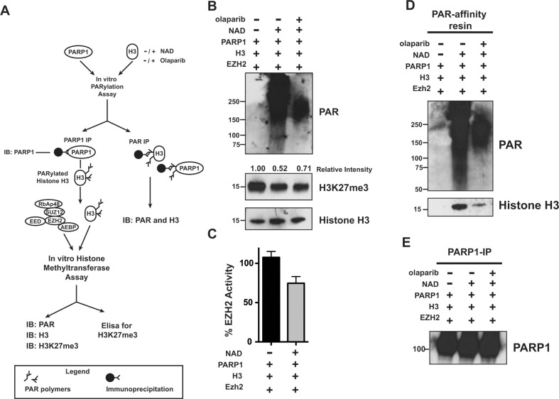 PARylation of Histone H3 decreases EZH2-mediated histone methylation (A) Schematic of experimental approach that couples histone PARylation and methylation in vitro . First, histone H3 was incubated with PARP1 in the presence or absence of NAD+ and olaparib to allow for PARylation. After 60 minutes, the reaction was blocked by addition of olaparib, PARP1 was removed by immunoprecipitation and the remaining histone H3 was either assessed for PARylation by PAR-resin pulldown or incubated with EZH2/PRC2 and SAM to allow H3-K27 methylation in vitro . After 30 minutes, the histone methyltransferase reaction was blocked and H3K27me3 levels were determined by different approaches. (B) Histone H3 PARylation decreases subsequent H3-K27 methylation. Histone H3 proteins treated as in A) were analyzed by western blot using an anti-H3K27me3 antibody and an anti-histone H3 antibody as a control. The signal intensity of H3K27me3 relative to H3 was measured using ImageJ software and normalized to the signal from unmodified histone H3 (H3 incubated with PARP1 in the absence of NAD+, lane 1). PARP1 activity was confirmed by western blot using an anti-PAR antibody. The western blot is representative of three independent experiments. (C) PARylation reduces histone methylation in vitro . Histone H3 samples treated as in A) were used to determine EZH2 activity toward unmodified and PARylated histone H3 by measuring H3K27me3 levels using an ELISA kit. H3K27me3 levels from unmodified histone H3 were set as 100% EZH2 activity. N=3, mean ± SD. (D) In vitro PARylation of histone H3. Histone H3 proteins treated as in A) were immunoprecipitated using the PAR-affinity resin and PARylation of H3 was confirmed by western blot using an anti-H3 antibody. PAR-resin specificity and PARylation levels were determined by western blot analysis of purified proteins with an anti-PAR antibody. The smear observed in lane 2 indicated PARylation. H. (E) PARP1 Immunoprecipitation. PARP1 removal after PARylation of histone H3 treated as above was confirmed by western blot analysis of proteins immunoprecipitated with an anti-PARP1 antibody.