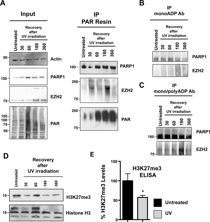 EZH2 PARylation decreases global H3K27me3 levels after DNA damage (A) PARylation of EZH2 after DNA damage by UV radiation. HeLa cells were irradiated with UVA and UVB for 2 minutes and then recovered in media. PARylated proteins were pulled down at the indicated recovery times using PAR-resin and analyzed by western blot using anti-PARP1, anti-EZH2 and anti-PAR antibodies. The shift of EZH2 to a higher molecular weight isoform indicates its PARylation. EZH2 PARylation increases and reaches a maximum at 3h after the initial treatment with UV. Input corresponds to 1/20th the amount of protein extract. (B and C) HeLa cells were treated as above and proteins were pulled down using either an anti mono-ADP-ribose antibody or an anti mono/poly-ADP-ribose antibody. Immunoprecipitated proteins were then analyzed by western blot with anti-EZH2 and anti-PARP1 antibodies. The western blot is representative of at least three independent experiments. Untreated cells served as control. (D) Histones were extracted from HeLa cells treated as described above. H3K27me3 levels were analyzed by western blot with an anti-H3K27me3 antibody or anti-histone H3 as control. (E) Quantification of H3K27me3 levels after UV irradiation-induced DNA damage. HeLa cells were exposed to UV as described in A) and recovered in media. After 3 hours, histones were purified and assessed for H3K27me3 levels by ELISA. The level of K27 methylation under the indicated conditions were calculated based on the amount of H3-K27 converted in the assay, divided by the amount of total histones loaded. Data were normalized to the untreated and expressed as % of H3K27me3. Data were N=3, mean ± SD. Statistically significant differences between experimental conditions and control samples were determined by Student's t test.