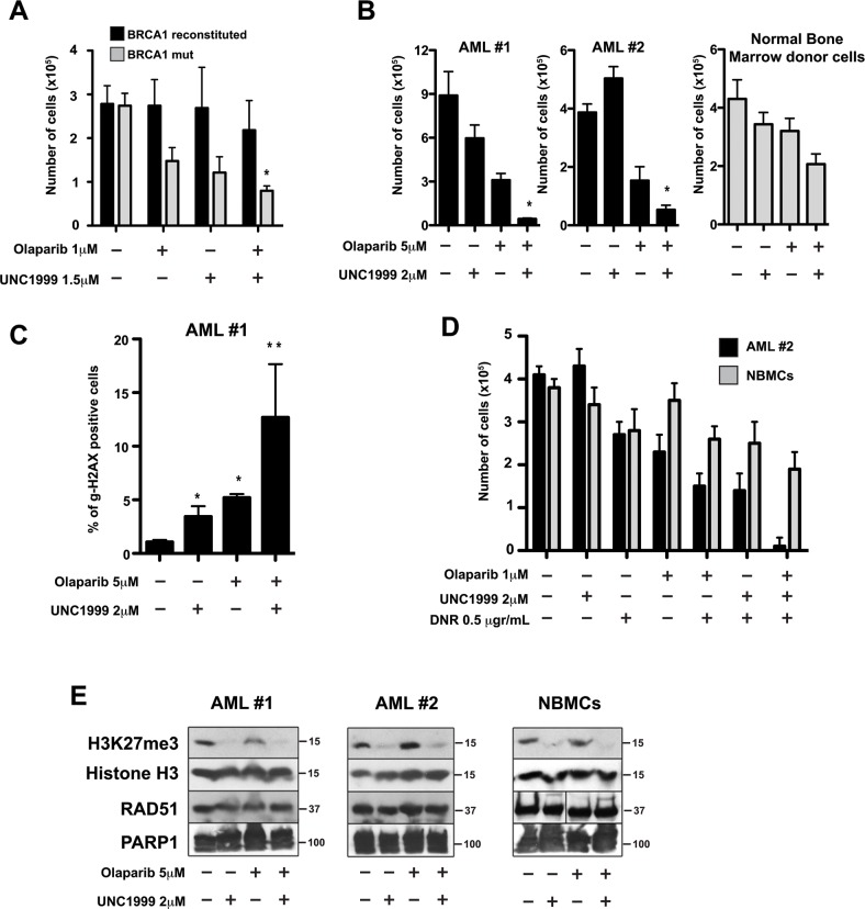 EZH2 inhibitor UNC1999 enhanced PARP1 inhibitor olaparib-mediated synthetic lethality in BRCA-deficient cell lines and acute myeloid leukemia (AML) primary cells (A) BRCA1 -mutated and BRCA1 -reconstituted MDA-MB-436 human breast carcinoma cells were treated with or without the PARP1 inhibitor olaparib in the presence or absence of the EZH2 inhibitor UNC1999 at the indicated concentrations. After 4 days, cell count/viability was determined by Trypan blue exclusion using a Bio Rad TC20 Automated Cell Counter. Results show mean ± SD of living cells. N=3. * p