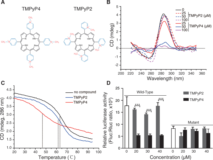 Effects of TMPyP4 and TMPyP2 on the i-motif structure and promoter activity of BmPOUM2 . ( A ) The structure of the porphyrin compounds TMPyP2 and TMPyP4. ( B ) CD analysis of the i-motif structure in the presence of TMPyP4 or TMPyP2. ( C ) CD analysis of melting temperature of the i-motif structure in the presence of TMPyP4 or TMPyP2. The synthesized ssDNA oligonucleotides that contained the i-motif region (5 μM) were heated at 95°C for 10 min in 50 mM Tris-acetate buffer at pH 4.1 and slowly cooled to room temperature over 4 h period to allow i-motif structure to form. TMPyP2 or TMPyP4 was then added into the solution at a final concentration of 25 μM and incubated overnight at 4°C, followed by CD analysis. The dot lines show the melting temperatures. ( D ) Determination of the promoter activity by the luciferase assay in the presence of TMPyP4 or TMPyP2. Data are means ± SEM ( n = 3). *** P