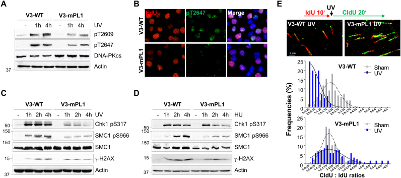 DNA-PKcs PL motif participates in the ATR signaling pathway and intra-S checkpoint. ( A ) V3-WT and V3-mPL1 cells were exposed to UV (20 J/m 2 ) and harvested at the indicated time points for WB using regular and phospho-specific antibodies against DNA-PKcs. ( B ) V3-WT and V3-mPL1 cells were pulse-labeled with 50 μM EdU, exposed to UV and then stained against EdU (red) and anti-pT2647 antibody (green). ( C and D ) Cells were treated with UV or HU and harvested at the indicated time points. Whole cell lysates were analyzed with indicated antibodies. ( E ) V3-WT and V3-mPL1 cells were sequentially labeled with IdU (100 μM, 10 min) and CldU (100 μM, 20 min) with or without UV exposure in between labels, and then analyzed by DNA fiber assay. The length of DNA tracks labeled with IdU (red) and CldU (green) were measured. The ratios of CldU to IdU in length were calculated from ongoing replication tracks (red-green, N ≥ 100).