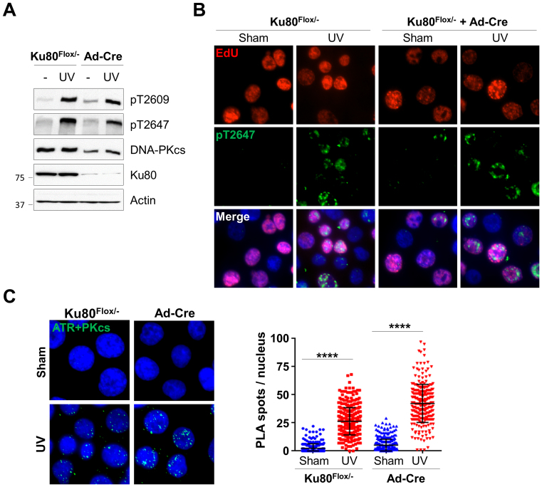 Ku80 is dispensable for DNA-PKcs and ATR association in response to UV irradiation. HCT116 Ku86 Flox/− cells were sham treated or incubated with Ad-Cre adenovirus expressing Cre recombinase for 4 days. ( A ) Cells were exposed to UV (20 J/m 2 ) and analyzed for DNA-PKcs phosphorylation by western blot. ( B ) Cells were pulse-labeled with EdU, exposed to UV, followed by immunostaining against EdU (red) and anti-pT2647 (green) antibodies. ( C ) Cells were exposed to UV and analyzed by PLA using anti-ATR and anti-DNA-PKcs antibodies. Right, quantification. Ku86 Flox/− sham, N > 300. **** P