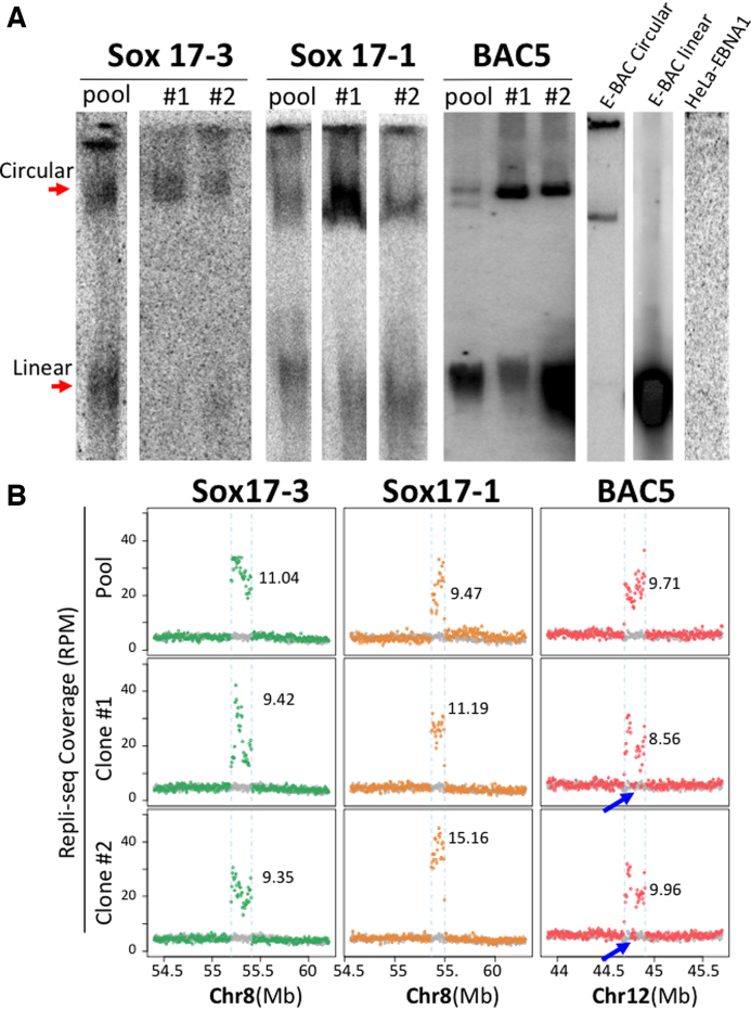 E-BACs are maintained as extra-chromosomal units in Hela-EBNA1 cells at different copy numbers. ( A ) Gardella gel (Sox17-3 and sox17-1) or Hirt extraction (BAC5) results for E-BAC transfected HeLa-EBNA1 cells (Gardella and Hirt extraction give similar results, Supplementary Figure S3A ). The circular E-BAC control (E-BAC Circular) was prepared by lysing sox17-1 carrying E. coli embedded in an agarose block; linear E-BAC control (E-BAC linear) is Mlu1-linearized sox17-1 E-BAC, and DNA from E-BAC-free HeLa-EBNA1 (HeLa-EBNA1) served as the negative control. DNA was hybridized with a 5kb probe derived from BAC vector pBACe3.6. ( B ) Total Repli-seq read coverage (for early + late S fractions, Figure 4A ) for E-BAC regions. The numbers on each plot represent copy number estimation of each E-BAC (see Materials and Methods). Blue arrows indicate deletions in the E-BAC5 clones.