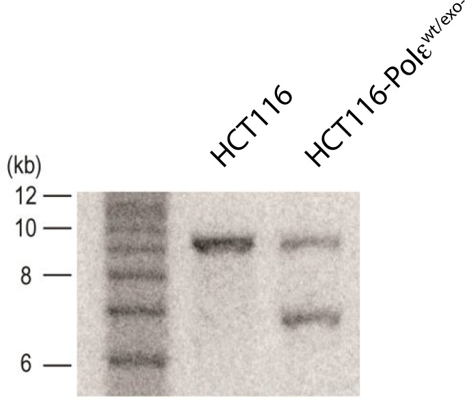 Southern blot of parental (HCT116) and knock-in clone (HCT116-Polε wt/exo- ) after Cre-mediated excision. Genomic DNA was digested with SacI and resolved on a 1% agarose gel in TBE. The DNA was transferred to <t>Hybond</t> N + membrane (Amersham) and blotted with probe against HA2 (shown in Figure 1—figure supplement 1 ). The sizes of the 1 kb ladder are shown to the left of the blot.