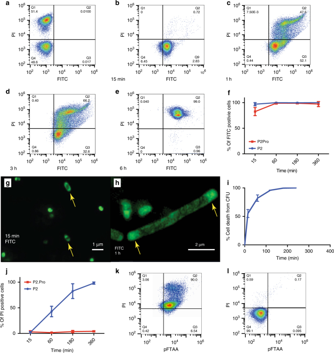 Uptake and inclusion body formation. a – e Fluorescence-activated cell sorting (FACS) analysis of 40,000 E . coli <t>O157:</t> H7 cells, measuring FITC fluorescence ( x -axis) and propidium iodide (PI) fluorescence ( y -axis) of a untreated and heat-inactivated bacteria mixed at a ratio of 1:1 and b–e bacteria treated for 15 min ( b ), 1 h ( c ), 3 h ( d ), and 6 h ( e ) with FITC-labeled P2 at MIC concentration. f Average population sizes of FITC-positive cells treated with FITC-P2 or FITC-P2Pro from four independent experiments such as those shown in b – e . g Wide-field structured illumination microscopy (SIM) image of E . coli treated with FITC-P2 for 15 min and h for 1 h at MIC concentration. i Time-dependent cell death following P2 treatment (1 x MIC) as % CFU/mL, in E . coli O157:H7. j Average population sizes of PI-positive cells (propidium iodide) from four independent FACS experiments such as those shown in a – e . k FACS analysis of 40,000 E . coli O157:H7 cells, measuring pFTAA fluorescence ( x -axis) and PI fluorescence ( y -axis) after 3 h of treatment with P2 at MIC concentration. l Same as h , but after treatment with 100 μg/mL P2Pro