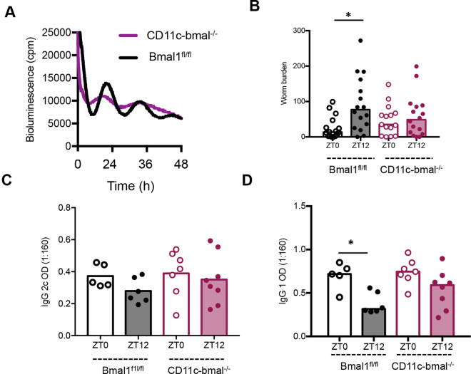 Conditional deletion of bmal1 in dendritic cells abolishes diurnal variation in immune response to infection. Mice were generated which lacked bmal1 in CD11c positive cells (CD11c-bmal −/− ). ( A ) Bone marrow derived dendritic cells cultured from CD11c-bmal −/− mice on a PER2::luc background and their wildtype counterparts (bmal fl/fl ), were placed under photonmultiplier tubes (PMT) to monitor real-time luciferase activity as a readout of PER2 expression. ( B ) CD11c-bmal −/− and bmal fl/fl littermates were infected with T . muris at either ZT0 or ZT12. Worm burden (median presented) was assessed 21 days post infection, n = 15–16/group, combined data from two independent experiments. One way ANOVA, post hoc Tukey. ( C , D ) Parasite specific IgG2c and IgG1 production was measured on day 21. Serum was serially diluted and screened against parasite ES antigen (0.5 μg/ml); the data shown is dilution 1:160 only, as it falls within the linear range of the titration curve, n = 5–8, One Way ANOVA and post-hoc Tukey.
