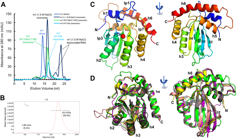 Protein purification and the overall structure of A3H. ( A ) SEC elution profiles of MBP-A3H dimeric and monomeric mutants on Superdex 200. A3H m1 forms a stable dimer after extensive RNase A treatment (blue). The purified m1 dimer can dissociate to monomer and free RNA after RNase A treatment followed by 1.5 M or higher salt buffer (black). The RNA-bound m1 dimer was disrupted by two sets of mutations on loop 7: H114A (m1+H114A) or W115A/C116S (m1+W115A/C116S), and clean monomers were purified from m1+H114A (light blue) m1+W115A/C116S (green). ( B ) MALS of MBP-fused m1+W115A/C116S mutant, showing the clean monomeric form. The expected molecular mass of a monomer is 63.2 kDa. ( C,D ) Crystal structure of A3H m1+W115A/C116S monomer mutant ( C ) and the superimposition of the A3H (green) with A3A (PDB: 4XXO, yellow), A3B-CD2 (PDB: 5CQI, salmon) and AID (PDB: 5W0R, purple) ( D ), with secondary structures indicated (Supplementary Figure S2A ). The long helix 6 (h6), break of β5, and the long loop 1 of A3H can be visualized in panels C and D (Supplementary Figure S3A , B ).
