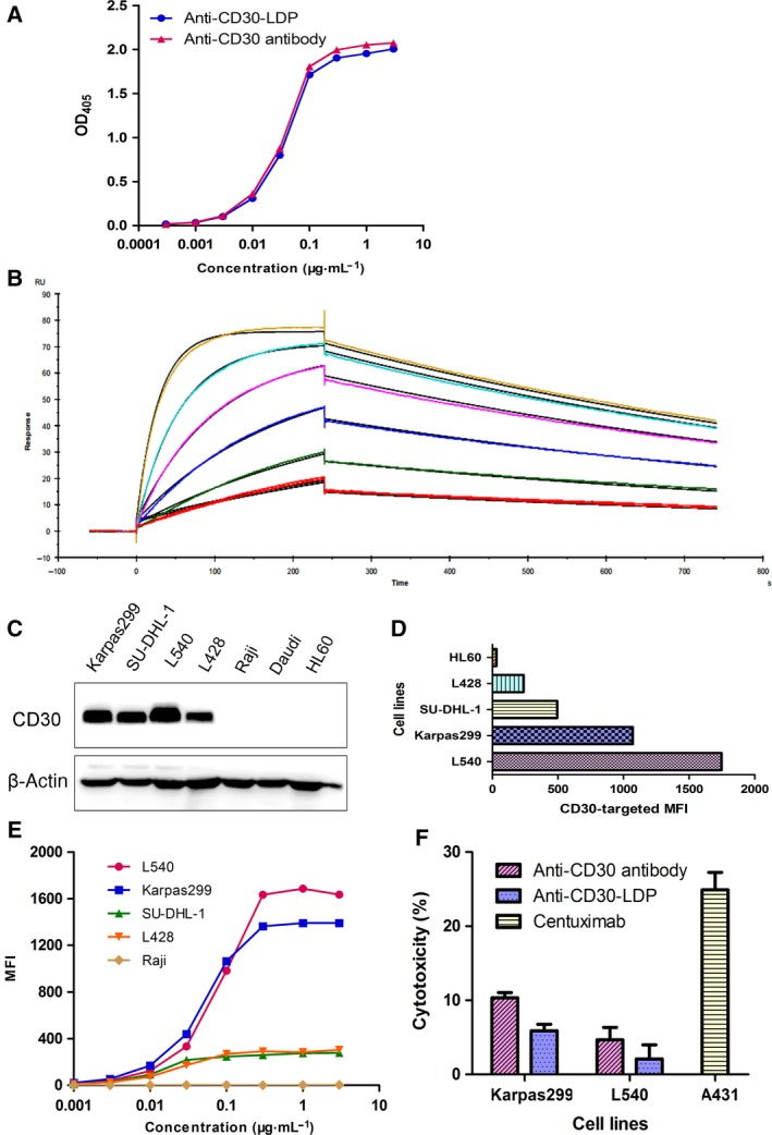 Anti‐CD30‐LDP retains binding and functional properties of parent anti‐CD30 antibody in vitro . (A) Binding activity of anti‐CD30‐LDP and anti‐CD30 antibody to recombinant human CD30 by ELISA. (B) Surface plasmon resonance (SPR) sensorgrams of anti‐CD30‐LDP binding with CD30 antigen. Various concentrations of antigen (human recombinant CD30, 2.03‐65 n m ) were applied on CM5 chip with immobilized anti‐CD30‐LDP fusion protein. Each sensorgram represents different concentrations of CD30. The CD30 at 2.03 n m was injected twice to verify reproducibility. (C) Western blot analysis of CD30 expression levels on different cancer cells. (D) Binding activity to different cell lines. The cells were incubated with anti‐CD30‐LDP of 10 μg·mL −1 and FITC‐conjugated anti‐human Fc second antibody, and then, cell‐bound fluorescence was determined by FACS analysis. The horizontal axis represents the values of MFI. (E) Binding curves of increasing concentrations of anti‐CD30‐LDP (0.001‐3 μg·mL −1 ) to different cancer cells by FACS analysis. The vertical axis represents the MFI values. (F) In vitro ADCC analysis of anti‐CD30‐LDP and anti‐CD30 antibody. The ADCC assay was performed using PBMCs as effector cells and Karpas299 or L540 cells as target cells at a ratio of 40 : 1. The concentration of anti‐CD30‐LDP was 10 μg·mL −1 . Meanwhile, the cetuximab and the target cell line A431 were used as a positive control.