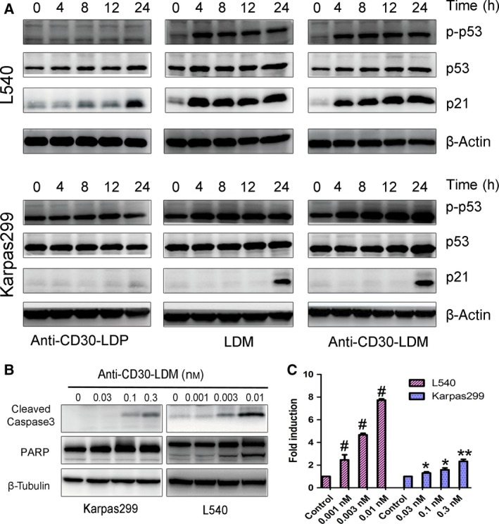 Molecular mechanism of <t>anti‐CD30‐LDM‐mediated</t> cell apoptosis. Western blot presented the levels of apoptosis‐associated proteins (A, B). (A) Cells were exposed to 0.03 n m anti‐CD30‐LDP/LDM/anti‐CD30‐LDM, respectively, and samples were collected at the appointed time to analyze the levels of p21 WAP1/CIP1 , p53, and p‐p53. β‐Actin was used as a loading control. (B) Cells were exposed to the appointed concentration of anti‐CD30‐LDM for 12 h, and samples were collected to analyzes the levels of cleaved‐caspase 3 and PARP. β‐Tubulin was used as a loading control. (C) Induction of caspase‐3/7 activity in Karpas299 or L540 cells treated with anti‐CD30‐LDM for 12 h. Fold induction in caspase‐3/7 activity was determined as described in Materials and methods . Means and SDs of triplicate experiments are shown (* P