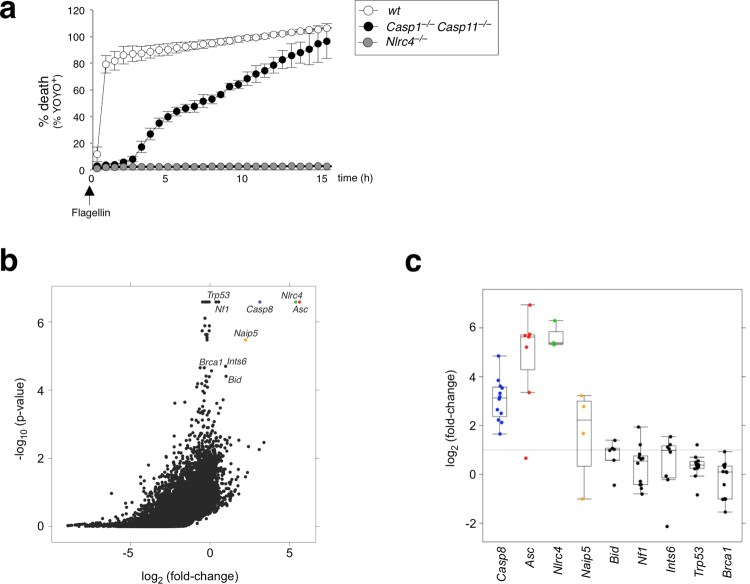 ASC and caspase-8 are identified through a genome-wide CRISPR/Cas9 screen for caspase-1-independent NLRC4-mediated cell death. ( a ) % YOYO-1 positive iMac cell lines from live imaging taken every hour up to 16 h after flagellin electroporation. Data is represented as mean ± SD; n = 3 images. ( b ) Scatter plot showing relative fold-change enrichment of genes ( x-axis ) with their corresponding enrichment p value ( y-axis ) from n = 3 biological replicates. Counts are log2 transformed and normalized using median scaling. Top scoring genes are highlighted. ( c ) Box-plot showing the distribution of individual sgRNA frequencies of flagellin- over control-treated populations, ordered left-to-right by increasing p-value.