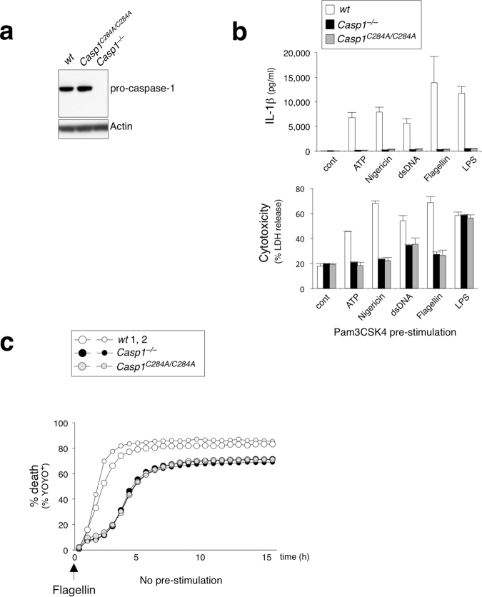 Caspase-1 does not compete with ASC for interaction with NLRC4 in enzymatically inactive Casp1 C284A/C284A BMDMs. ( a ) Immunoblot of pro-caspase-1 and actin from wt, Casp1 −/− , Casp1 C284A/C284A BMDMs. ( b ) BMDMs with Pam3CSK4 (1 μg ml −1 ) pre-stimulation were electroporated with flagellin (0.5 μg ml −1 ). IL-1β release and LDH release measured after 16 h. Data is expressed as mean ± SD; n = 3. ( c ) % YOYO-1 positive BMDMs from two mice/genotype after stimulation. BMDMs with no pre-stimulation were electroporated with flagellin (0.5 μg ml −1 ). Live cell images taken every 45 min for 16 h.