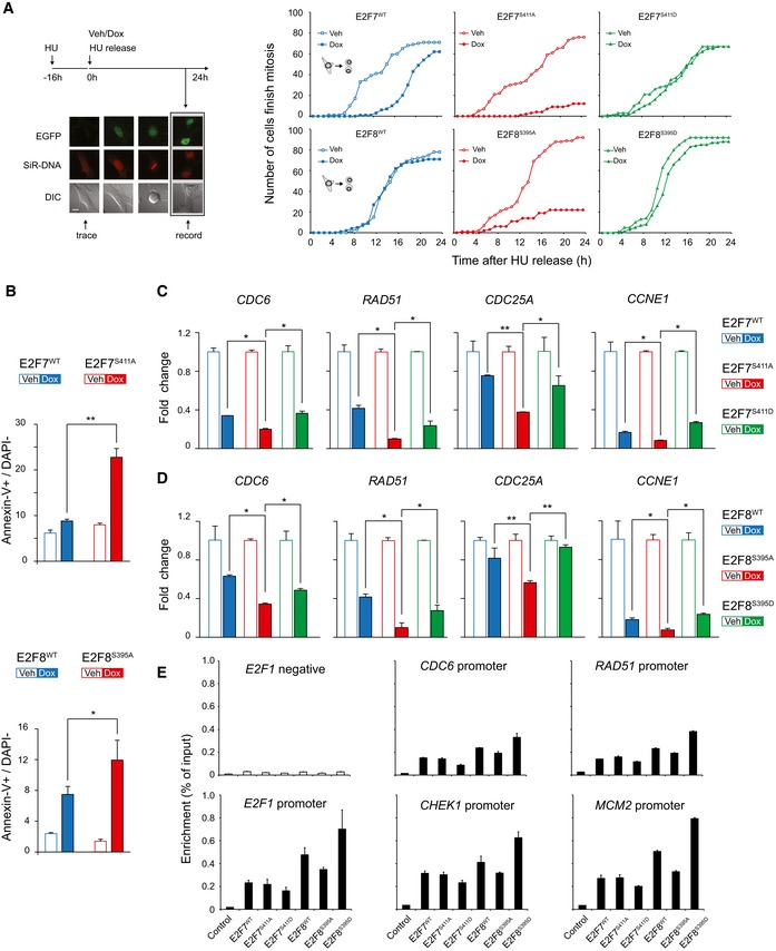 Chk1 inhibits the transcriptional repressor function of E2F7 and E2F8 to promote cell cycle progression and prevent apoptosis Left panel shows a schematic view of the experimental setting. HeLa/TO cells were synchronized with hydroxyurea (HU) for 16 h, then released by washing and adding new medium containing doxycycline (Dox) to induce expression of the transgenes. Cell lines incubated with medium without doxycycline (Vehicle, Veh) were used as controls. Expression of WT and Chk1 mutant versions of E2F7/8 was monitored by EGFP fluorescence, DNA was visualized by adding fluorescent SiR‐DNA to the medium, and cell morphology was evaluated by differential interference contrast (DIC). Per condition, 100 individual cells were traced. Each cell was followed until it successfully finished mitosis and divided into two daughter cells, for a maximum of 24 h. The graphs on the right show the quantification of the mitotic events during live cell imaging. Scale bar: 10 μm. Quantification of apoptosis by flow cytometric analysis of Annexin‐V staining. Experiments were performed as outlined in (A), and cells were harvested for flow cytometry 24 h after HU release. Apoptotic cells were counted as Annexin‐positive and DAPI‐negative. Quantitative PCR of CDC6 , RAD51 , CDC25A, and CCNE1 expression in HeLa/TO cell lines expressing wild‐type and mutant versions of E2F7/8. Chk1 phosphorylation does not change the promoter enrichment of E2F7 and E2F8. HEK cells were transfected with either PEI reagent alone (control) or indicated plasmids tagged with GFP. 48 h after transfection, cells were harvested for chromatin immunoprecipitation (ChIP) followed by qPCR. Histogram represents the enrichment ratio (bound/input) in E2Fs target gene promoters. Data information: In (B–D), data represent average ± SEM ( n = 3); * P