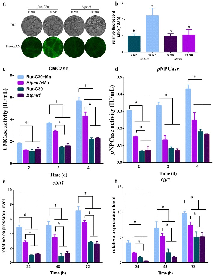 Influence of TPMR1 on Mn 2+ -induced cytosolic Ca 2+ burst and cellulase production. A Fluorescence analysis of the influence of TPMR1 on the cytosolic Ca 2+ burst induced by Mn 2+ . The T. reesei Rut-C30 and Δ tpmr1 strains were cultured in liquid minimal medium for 48–60 h with 0 or 10 mM MnCl 2 (0 or 10 Mn, respectively). For detection, 50 μM Fluo-3/AM was used, and the intensity was monitored using Automatic Inverted Fluorescence Microscopy. Green fluorescence represents the free cytosolic Ca 2+ . DIC, differential interference contrast. B Comparative fluorescence ratio analysis of TPMR1 influence on cytosolic Ca 2+ burst induced by Mn 2+ . The y -axis represents the Ca 2+ fluorescence ratio measured by CLSM and the x -axis the different treatments. The CMCase activity ( C ) and p NPCase activity ( D ) of T. reesei Rut-C30 and Δ tpmr1 strains were examined after culture in medium containing 0 or 10 mM MnCl 2 . The expression levels of cbh1 ( E ) and egl1 ( F ) in T. reesei Rut-C30 and Δ tpmr1 strains were analyzed after culture in medium containing 0 or 10 mM MnCl 2 . Values are the mean ± SD of the results from three independent experiments. Asterisks indicate significant differences from untreated strains (* p