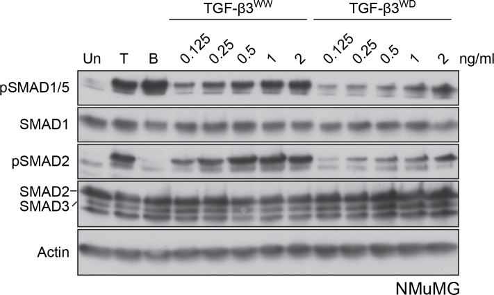 NMuMG cells respond to both <t>TGF-β3</t> WW and TGF-β3 WD . NMuMG cells were untreated (Un) or treated with <t>TGF-β1</t> (T), BMP4 (B) or the indicated concentrations of TGF-β3 WW and TGF-β3 WD for 1 hr. Whole cell lysates were immunoblotted with the antibodies shown. Both TGF-β3 WW and TGF-β3 WD induce phosphorylation of pSMAD1/5, although the latter is less potent.