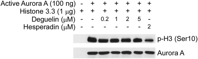 The effect of deguelin on Aurora A in vitro kinase activity. An inactive histone 3.3 protein was used as the substrate for an in vitro kinase assay with active Aurora A and 100 μM ATP as indicated. Proteins were resolved by SDS-PAGE and detected by Western blotting.