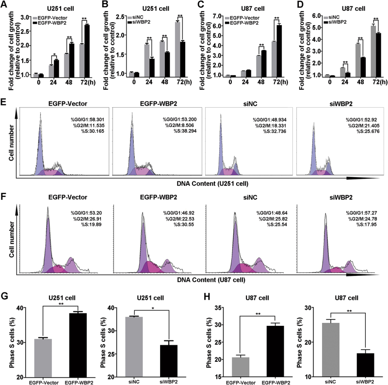 Effects of WBP2 on cell growth and cell cycle progress of U251. a–d After seeding for 24 h, U251 and U87 cells (eight groups of cells) were processed with MTT assay (EGFP-Vector, EGFP-WBP2, siNC, and siWBP2) at 0, 24, 48, and 72 h. e Cell cycle analysis of U251 cells transfected with EGFP-WBP2, EGFP-Vector, siNC and siWBP2. f Cell cycle analysis of U87 cells transfected with EGFP-WBP2, EGFP-Vector, siNC and siWBP2. g , h Representative quantity of cell numbers in S-phase in the eight group cells. EGFP-Vector, control stable cell line transfected with pEGFP-C1 plasmid in U251 or U87 cells; pEGFP-WBP2, stable cell lines transfected with pEGFP-WBP2; siNC, cells transfected with negative control siRNA; siWBP2, downregulation of WBP2 expression transfected with siRNA of WBP2 in U251 or U87 cells. *P