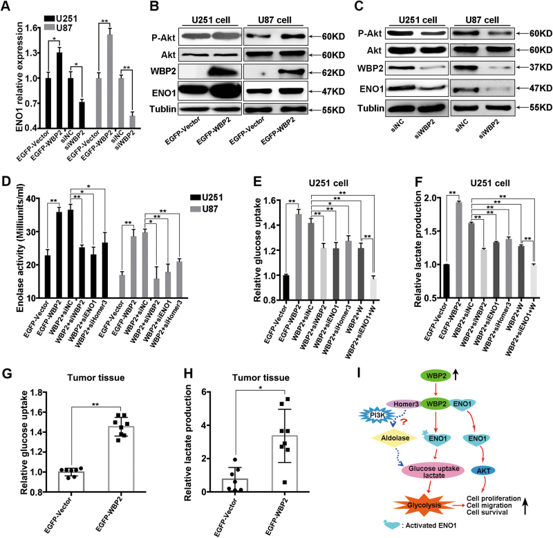 WBP2 affects the expression and activity of ENO1 in glioma cells. a WBP2 affects the transcription of ENO1 in U251 and U87 cells. b , c Phosphorylation of Akt and expression of ENO1 measured by western blot using specific antibodies in four cell groups. d Measurements of Enolase-1 activity in different group cells, following an enolase activity assay, e , f Relative glucose uptake and lactate production of eight group cells, assessed by their corresponding detection kits. g , h Relative glucose uptake and lactate production in xenografted tumor. i The proposed model of WBP2-mediated cellular processes in Glioma cells. Tubulin served as the internal control. WBP2 + siNC, EGFP-WBP2 group cells transfected with negative control siRNA; WBP2 + siWBP2, EGFP-WBP2 group cells transfected with WBP2-siRNA; WBP2 + siENO1, EGFP-WBP2 group cells transfected with ENO1-siRNA; WBP2 + siHomer3, EGFP-WBP2 group cells transfected with Homer3-siRNA; WBP2 + W, EGFP-WBP2 group cells treated with wortmannin; WBP2 + siENO1 + W, EGFP-WBP2 group cells transfected with ENO1 siRNA that were pretreated with wortmannin. * P