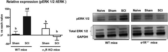 Spinal ERK1/2 phosphorylation (pERK) expression at day 28 after spinal cord injury (SCI) in wild type (WT) and sigma-1 receptor (σ1R) knockout (KO) mice. Quantification and representative immunoblots of total ERK, pERK and glyceraldehyde 3-phosphate dehydrogenase (GAPDH). Protein expressions were normalized to GAPDH and data is presented as a percentage respect to WT naïve or KO naïve mice (mean ± standard error of the mean; n = 5–6). a–b: groups not sharing a letter are significantly different, p