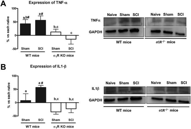 Spinal inflammatory cytokines (tumour necrosis factor [TNF]-α and interleukin[IL]-1β) expression at day 28 after spinal cord injury (SCI) in wild type (WT) and sigma-1 receptor knockout (KO). ( A ) Quantification and representative immunoblots of TNF-α and glyceraldehyde 3-phosphate dehydrogenase (GAPDH). a–b: groups not sharing a letter are significantly different, p