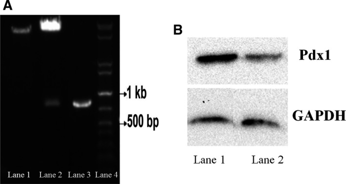 (A) Characterization of Pdx1‐ pCDNA 3.1(+) vector. Lane 1: the recombinant plasmid before digestion. Lane 2: the 850‐bp Pdx1 gene separated from the recombinant Pdx1‐ pCDNA 3.1(+) digested using EcoRI and Hind III enzymes. Lane 3: 900‐bp PCR product of recombinant Pdx1‐ pCDNA 3.1(+) vector. Lane 4: 1‐kb DNA ladder. (B) Western blot analysis results. The CHO cells transfected with Pdx1‐ pCDNA 3.1(+) (lane 1) showed a significantly higher expression of Pdx1 compared with the CHO cells transfected with pCDNA 3.1(+) alone (Lane 2).