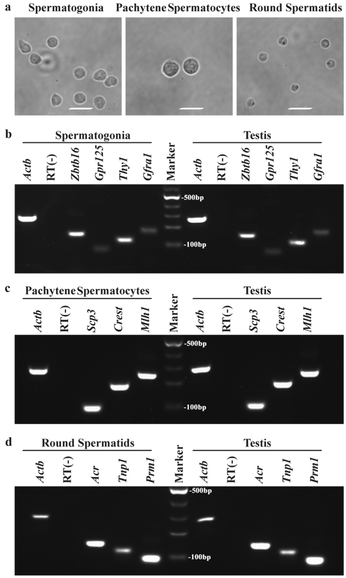 The morphological and phenotypic characteristics of mouse spermatogonia, pachytene spermatocytes and round spermatids Phase-contrast microscope showed the morphological characteristics of the freshly isolated spermatogonia, pachytene spermatocytes and round spermatids a . Scale bars in a = 20 μm. RT-PCR revealed the transcripts of Gfra1, Thy1, Gpr125 , and Zbtb16 in the freshly isolated mouse spermatogonia and mouse testis b , Mlh1, Crest , and Scp3 in the freshly isolated pachytene spermatocytes and mouse testis c , Acr, Prm1 , and Tnp1 in the freshly isolated round spermatids and mouse testis d . Actb was employed as a loading control of total RNA, and RNA samples without RT (RT−) but with PCR by Actb primers were used as negative controls