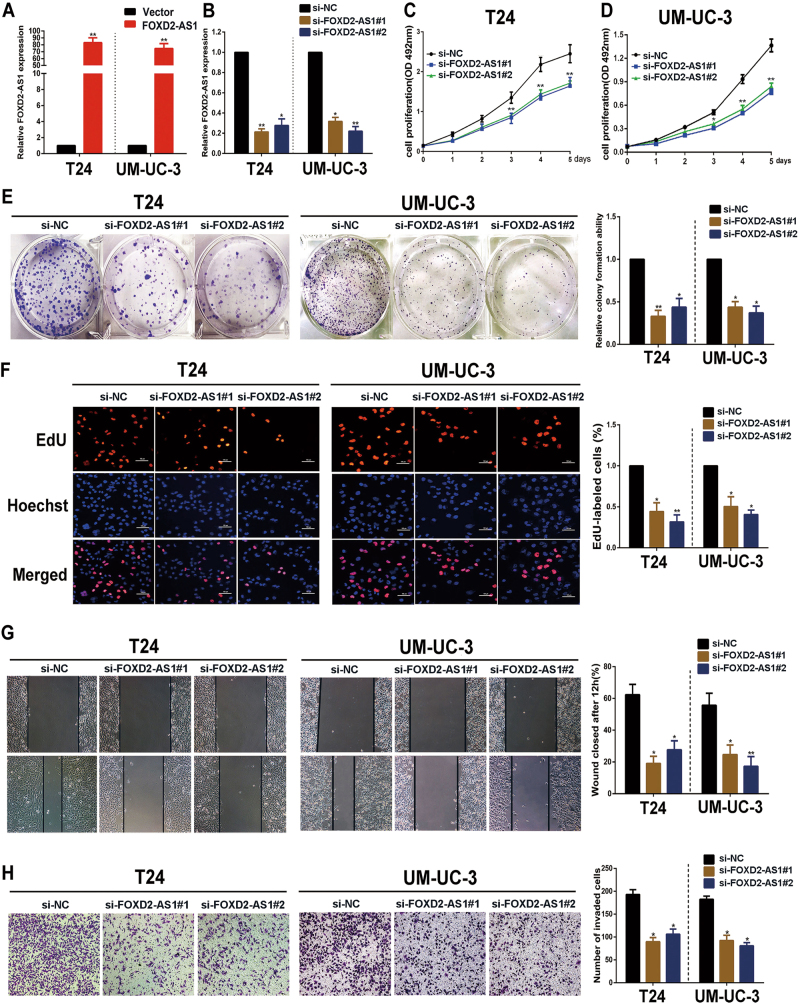 FOXD2-AS1 promotes proliferation and migration/invasion of bladder cancer cells. a Expression alteration of FOXD2-AS1 was shown in FOXD2-AS1 overexpression bladder cancer cells. b qRT-PCR was used to evaluate expression of FOXD2-AS1 in two independent siRNAs transfected bladder cancer cells. The figures in A and B showed representative results of three independent experiments. c and d MTT assays were performed to determine the T24 and UM-UC-3 cell growth capacities after silencing of FOXD2-AS1 via specific siRNAs transfections. The representative figure of three independent experiments showed that FOXD2-AS1 obviously promoted bladder cancer cell growth. * p