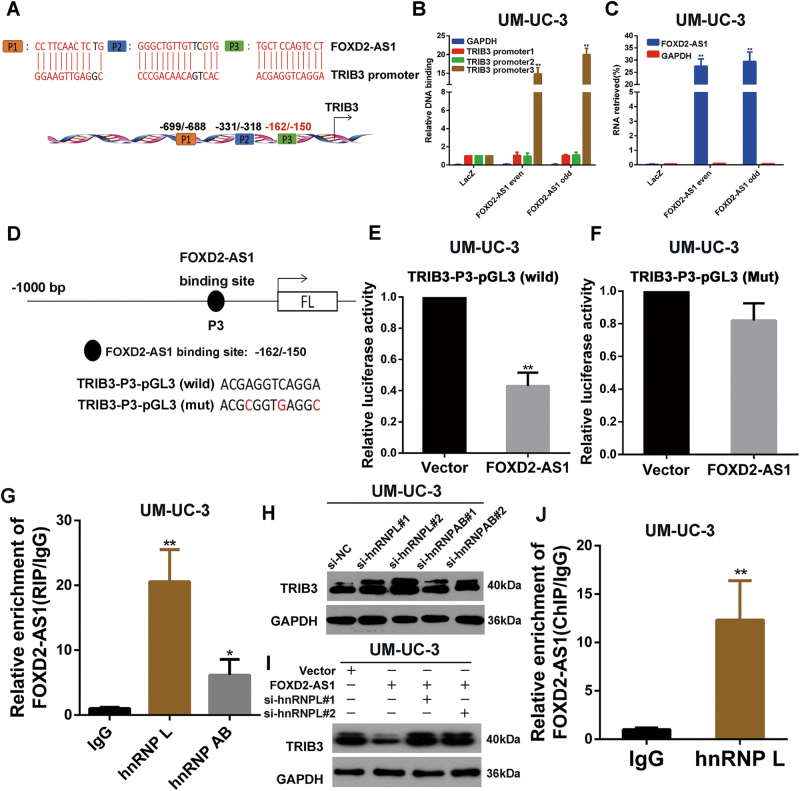 hnRNP L is responsible for FOXD2-AS1 -mediated regulation of TRIB3. a TRIB3 promoter contians three latent binding site with FOXD2-AS1 . b and c FOXD2-AS1 targeted probes and negative Laz probes were used for ChIRP assay. Purified DNA and RNA was analyzed by qPCR and qRT-PCR respectively. The results showed that FOXD2-AS1 bound to TRIB3-promoter3 and FOXD2-AS1 probes specifically pulled down FOXD2-AS1 . Error bars represent the mean ± S.D. from three independent experiments. ** p