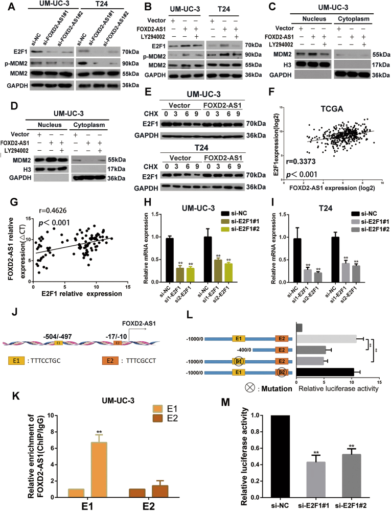 Mutual regulation between FOXD2-AS1 and E2F1. a Western blotting revealed that FOXD2-AS1 silencing obviously decreased p-MDM2 and E2F1 expression. Immunoblots is the representative image from three independent experiments. b LY294002 was used in FOXD2-AS1 overexpression bladder cancer cells, and the levels of E2F1, p-MDM2 and MDM2 were measured by western blotting after 72 h. FOXD2-AS1 -mediated p-MDM2 and E2F1 expression could be restored by LY294002. Immunoblots is the representative image from three independent experiments. c and d Ectopic expression of FOXD2-AS1 increased MDM2 expression LY294002 significantly restored expression of MDM2 in nucleus in FOXD2-AS1 overexpression bladder cancer cells. e Cells were transfected with FOXD2-AS1 or corresponding empty vectors, and then exposure to protein synthesis inhibitor CHX (20 μg/ml) for defferent times. E2F1 was detected by western blotting. f and g FOXD2-AS1 is positively correlated with E2F1 in bladder cancer tissues which was proved by TCGA data and our own qRT-PCR data. h and i qRT-PCR showed that E2F1 depletion reduce expression of FOXD2-AS1 in both T24 and UM-U3 cells. Error bars represent the mean ± S.D. from three independent experiments. ** p