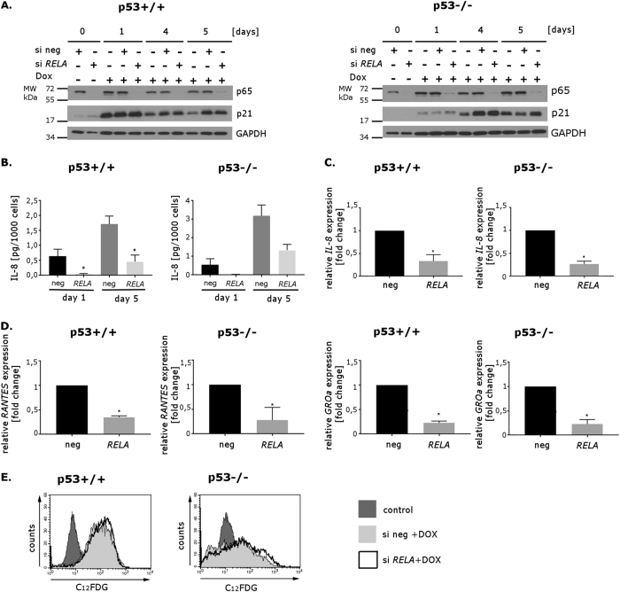 The influence of downregulation of gene RELA (encoding NF-κB p65 subunit) on senescence of HCT116 p53+/+ and p53−/− cells HCT116 p53+/+ and p53−/− cells were transfected with negative siRNA or RELA siRNA (30 nM). Two days after transfection, the cells were treated with doxorubicin (100 nM) for 5 days. a Whole cell extracts were prepared at indicated time points after treatment with doxorubicin. The level of p65 and p21 proteins was estimated by Western blotting; GAPDH was used as a loading control. b ELISA analysis of of IL-8 secreted by HCT116 p53+/+ (left graph) and p53−/− cells (right graph) transfected with negative siRNA or with siRNA targeting RELA on days 1 and 5 of doxorubicin treatment; mean value of three independent experiments. Error bars represent standard deviation. c RT-PCR analysis of expression of IL-8 in cells transfected either with negative siRNA or with RELA siRNA, treated with doxorubicin for 5 days. Results were normalized to the level of GAPDH mRNA. Mean values of three independent experiments. Error bars represent standard deviation. d RT-PCR analysis of expression of selected NF-κB-regulated genes ( RANTES and GROα ) in cells transfected either with negative siRNA or with RELA siRNA, treated with doxorubicin for 5 days. Results were normalized to the level of GAPDH mRNA. Mean values of three independent experiments. Error bars represent standard deviation. e SA-β-Gal activity measured by flow cytometry. Representative histograms illustrating C 12 FDG fluorescence in HCT116 p53+/+ (left) and p53−/− (right) cells