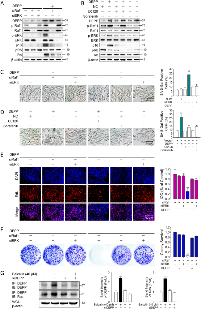 Ras/Raf/MEK/ERK signaling pathway was involved in DEPP-mediated tumor cellular senescence in colon cancer cells. HCT116 cells transfected with pcDNA3.1 either blank or loaded the cDNA of DEPP were treated with siRNA targeting Raf1 and ERK, then immunoblotting analysis a and SA-β-Gal staining c were carried out. Shown are representative of 4 experiments. HCT116 cells transfected with pcDNA3.1 either blank or loaded the cDNA of DEPP were treated with Sorafenib or U0126 for 24 h, then immunoblotting analysis b , SA-β-Gal staining d , EdU staining e and colony formation assay f were carried out. Shown are representative of 4 experiments. The quantification of SA-β-Gal and crystal violet staining represents the means ± SD. The integrated optical density of EdU staining represents the means ± SD. (*** P ≤ 0.001 versus the control group). g Immunoblotting of Flag-DEPP immunoprecipitates from HCT116 cells with or without the treatment with baicalin or siDEPP. The binding of DEPP to Ras in cells is presented relative to that in the untreated cells. Shown are representative of three experiments