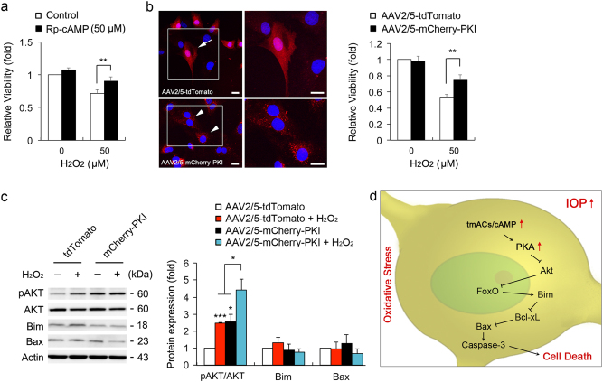 PKA inhibition protects ONH astrocytes against oxidative stress a Cell viability analyses using MTT assay in H 2 O 2 (50 μM for 1 h)-induced ONH astrocytes treated with Rp-cAMP (50 μM). b Cell viability analysis using MTT assay in H 2 O 2 (50 μM)-induced ONH astrocytes transduced with AAV2/5-tdTomato or mCherry-PKI. Representative images showed tdTomato (red) or mCherry-PKI (red) expression in ONH astrocytes. Nuclei (blue) were stained by Hoechst 33342. Note that PKI overexpression promoted ONH astrocyte survival. Scale bars, 20 μm. c Immunoblot analyses of pAKT, total AKT, Bim and activated Bax in H 2 O 2 (50 μM for 1 h)-induced ONH astrocytes transduced with AAV2/5-tdTomato or mCherry-PKI. d A hypothetical model for the role of tmAC activation-mediated cAMP/PKA signaling pathway in ONH astrocytes against glaucomatous insults such as elevated IOP and oxidative stress. For each determination, the cell viability as well as mRNA and protein expression in controls were normalized to a value of 1.0. Data are shown as the mean ± S.D. ( n = 3). * P